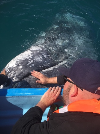 Dan petting a grey whale!!